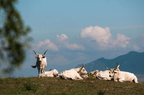 Mucche in collina